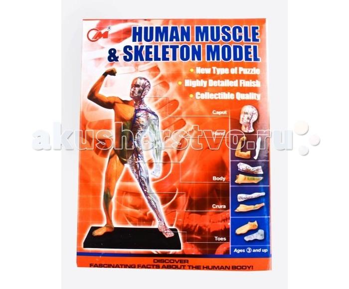 Shantou Gepai Набор Анатомия человека 30 деталейНабор Анатомия человека 30 деталейНабор Анатомия человека - это объёмный пазл. В увлекательной форме посредством игры ребенок быстро и без проблем освоит строение человека - мышцы и скелет.  В наборе есть подставка, на которую собираются все составляющие скелета. Всего 30 деталей. На одной части скелета показаны мышцы, на второй - артерии и вены. Есть подробная инструкция с объяснениями.  Комплектность: Детали для сборки - 30 шт. Подставка - 1 шт. Инструкция - 1 шт.<br>