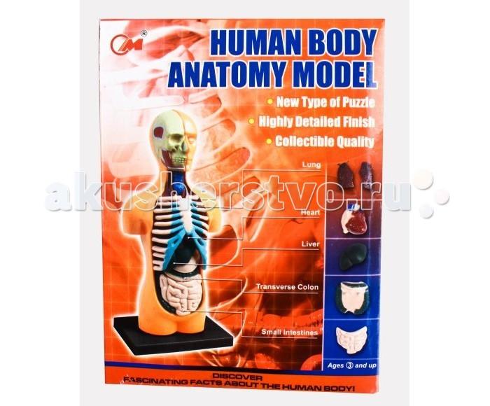 Shantou Gepai Набор Анатомия человека 12 деталейНабор Анатомия человека 12 деталейНабор Анатомия человека - это объёмный пазл. В увлекательной форме посредством игры ребенок быстро и без проблем освоит строение человека. В наборе есть подставка, на которую собираются все составляющие скелета. Всего 12 деталей. Есть подробная инструкция с объяснениями. Ребенок узнает много всего интересного: что такое мозг и из чего он состоит, о функциях костей грудной клетки, для чего нужны легкие, как устроен кишечник, важность печени и многое другое.  Комплектность: Детали для сборки - 12 шт. Подставка - 1 шт. Инструкция - 1 шт.<br>