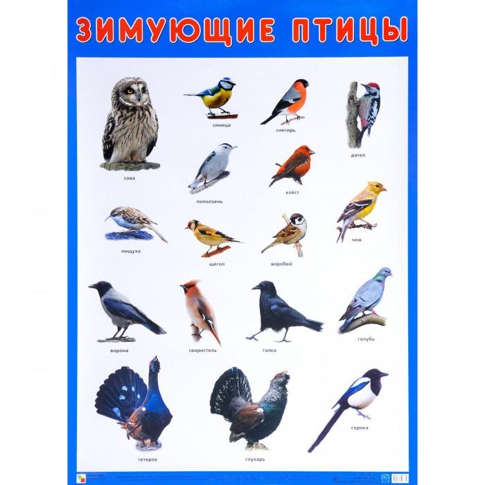 Мозаика-Синтез Плакат Зимующие птицы МС10883Плакат Зимующие птицы МС10883Плакат большого формата Зимующие птицы познакомит детей с птицами, которые с наступлением холодов не улетают в теплые страны, а остаются зимовать на территории нашей страны. Четкие, яркие фотографии обязательно заинтересуют ребят и помогут быстро выучить названия птиц.  Наглядный материал может быть использован на занятиях по ознакомлению с окружающим миром, для развития речи и мышления.  Размер плаката: 50 х 70 см<br>