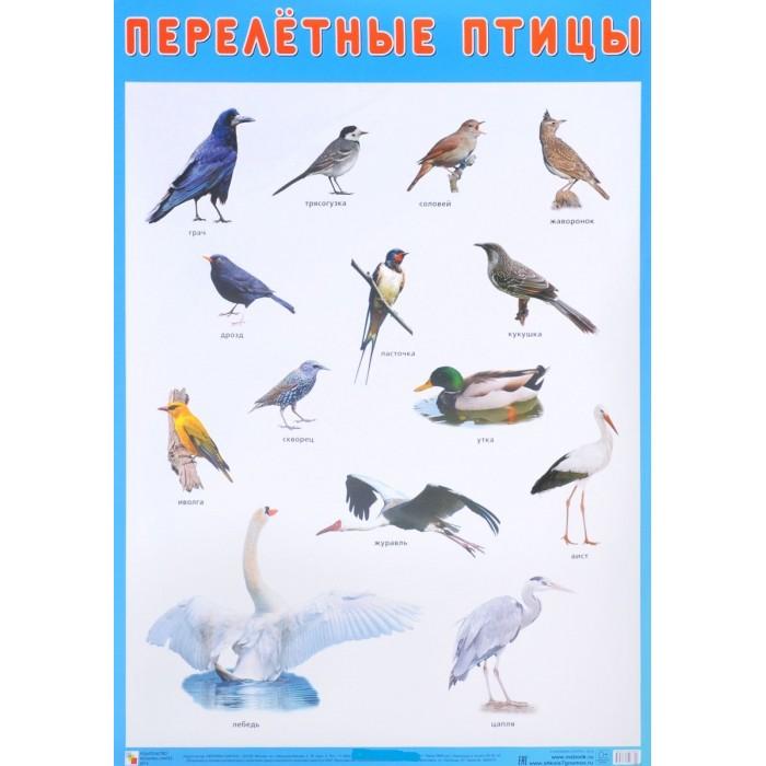 Мозаика-Синтез Плакат Перелетные птицыПлакат Перелетные птицыПлакат большого формата Перелетные птицы  познакомит детей с птицами, которые с наступлением холодов улетают в теплые страны. Четкие, яркие фотографии обязательно заинтересуют ребят и помогут быстро выучить названия птиц.   Наглядный материал может быть использован на занятиях по ознакомлению с окружающим миром, для развития речи и мышления.  Размер плаката: 50 х 70 см<br>