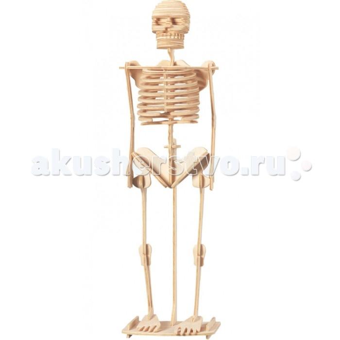 Конструктор Wooden Toys Сборная модель Скелет человекаСборная модель Скелет человекаСкелет человека это сборная деревянная игрушка, объемная модель настоящего скелета человека.   Все вырубные детали располагаются на фанерной доске. Для сборки модели их необходимо предварительно выдавить с места расположения и собирать в последовательности, указанной в прилагаемой инструкции.  Для того чтобы собранная модель служила долго, можно проклеить места соединения деталей при сборке.   При желании собранную модель можно раскрасить, используя любые типы краски. Производитель рекомендует темперные краски. После раскрашивания модель можно покрыть лаком.  В процессе сборки модели ребенок развивает усидчивость, пространственное и абстрактное мышление.   Все детали сборной модели изготовлены из экологически чистой древесины.  Комплектация:  3 фанерных пластины с деталями и инструкция по сборке.<br>