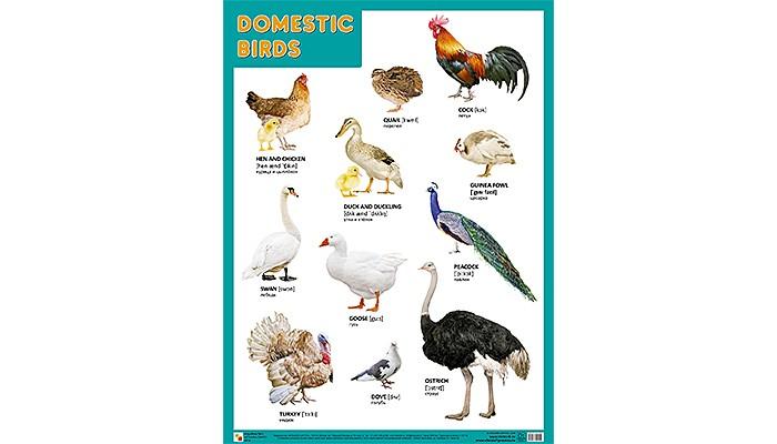 Мозаика-Синтез Обучающий плакат DOMESTIC BIRDS Домашние птицы 45 х 60
