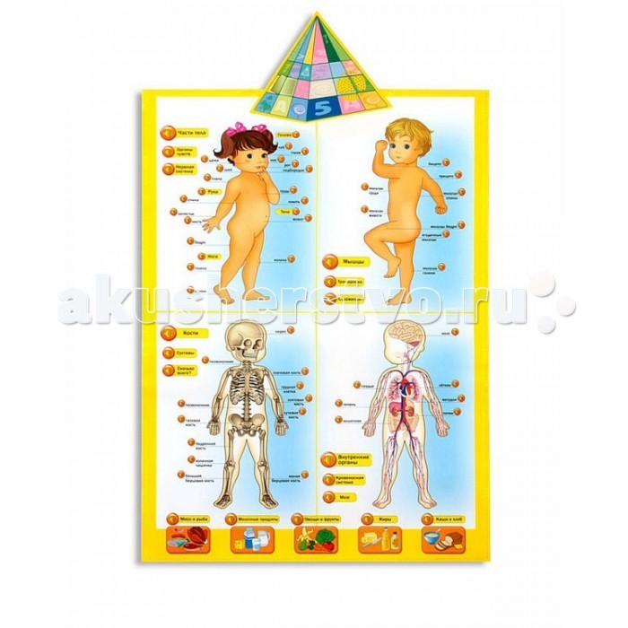 Kribly Boo Говорящая анатомияГоворящая анатомияKribly Boo Говорящая анатомия 13129/ПИ  Говорящая анатомия познакомит ребенка со строением тела человека, расскажет о том, какая пища полезна и почему. Плакат разделен на 4 части: на первой можно познакомиться с названием частей тела; на второй — с названием мышц; на третьей — с названиями основных костей; на четвертой — с внутренними органами (при нажатии на кнопки звучит название соответствующего органа и дается краткая информация, для чего он нужен).  Кроме этого, ребенок узнает, что такое органы чувств, что такое мышцы, сухожилия, кости, суставы, для чего нужна кровеносная система.  Если нажать  кнопки с изображением продуктов, прозвучит информация об их пользе.   В связи и ребрендингом компании Пирамида открытий переименована в KRIBLY BOO. Все товары идентичны по функционалу! Упаковка и некоторые элементы дизайна могут отличаться от Пирамиды открытий.  Размер игрушки: 66 x 42 x 2.5 см. Тип батареек: 3 х AAA / LR03 1,5V (мизинчиковые). Наличие батареек: в комплект не входят.<br>