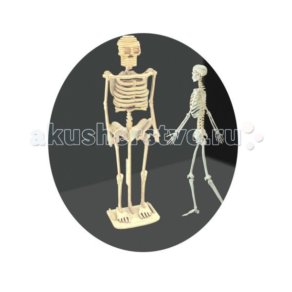 Конструктор МДИ Сборная модель Скелет человекаСборная модель Скелет человекаСборная модель МДИ Скелет человека.  Сборная модель направлена на развитие пространственного и логического мышления, развитие мелкой мышечной моторики, внимания, памяти, подготавливают руку к письму. Выполнена из экологически чистой древесины, не содержит формальдегид. Детали выдавливаются из фанерной доски и собираются согласно инструкции.   Лучше всего проклеивать места соединения клеем сразу при сборке, так собранная Вами модель будет долго служить Вам и радовать Вас. Вы можете раскрасить Вашу модель, используя любые краски. В этом случае нужно заранее продумать как общий дизайн модели, так и окраску каждой детали. Производитель рекомендует использовать темперные краски. После можно покрыть лаком.<br>