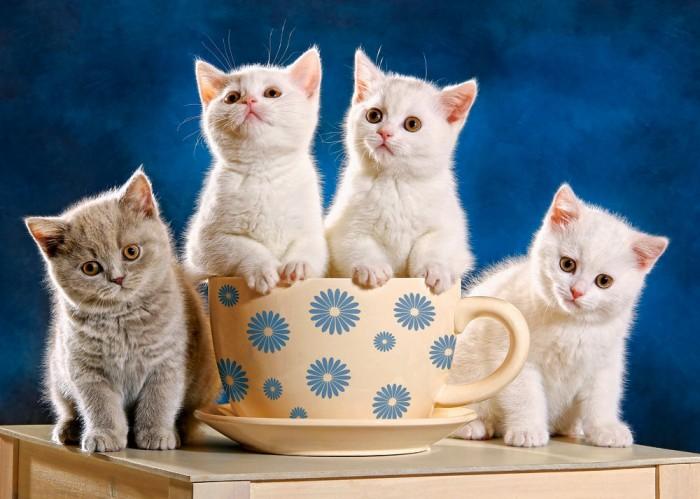 Castorland Пазл Четыре котенка 500 элементовПазл Четыре котенка 500 элементовПазл Четыре котенка станет прекрасным подарком любителям кошек.  Пазл Четыре котенка состоит из 500 элементов. Пазл подойдет не только детям школьного возраста, но и взрослым.  Складывание пазлов довольно полезное занятие для всех возрастов. Оно помогает развивать логическое мышление, внимание, воображение.  Размер собранного поля: 47 х 33 см<br>